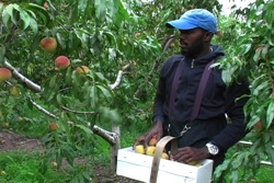 Clayon picking peaches